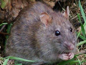 Как избавиться от крыс на участке самый эффективный способ