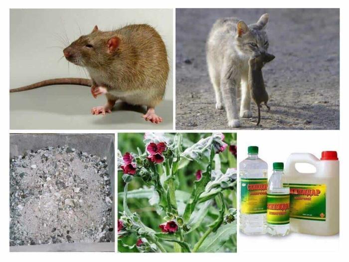 Как избавиться от крысы