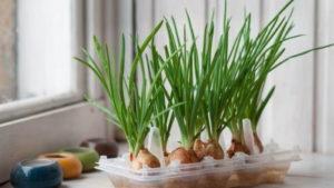 как вырастить лук на подоконнике в квартире зимой