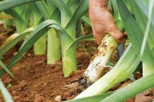 лук порей выращивание