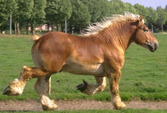 Крупная рабочая лошадь