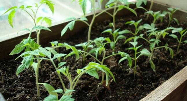 В какой подкормке нуждается рассада томатов: признаки